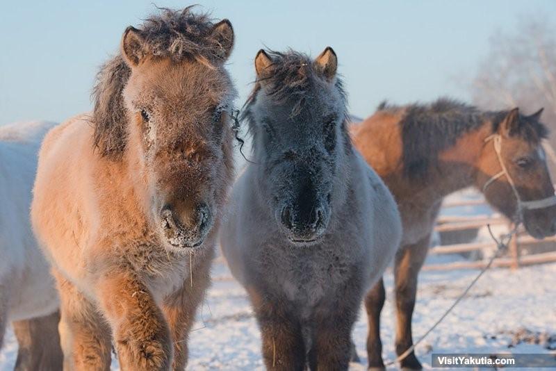 yakut cavallini