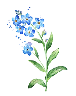 Forget-Me-Knot Flower Drawing