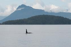 Northen Resident: An Orca
