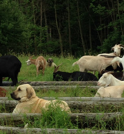 Esinti in the thick of goats, Godiva peers at me from afar