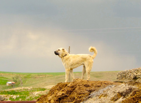 A Brief History of the Kangal Dog