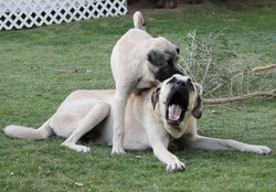 Ruzha biting Tyro's head