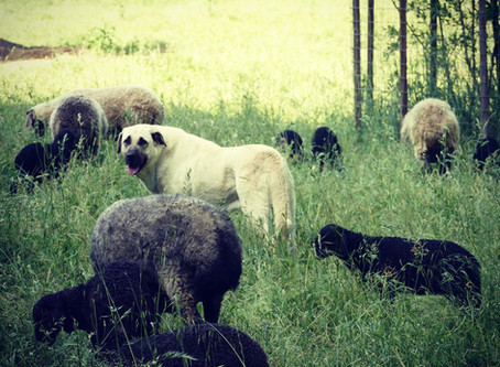 Predator Friendly Livestock Management and the Role of the Livestock Guardian Dog