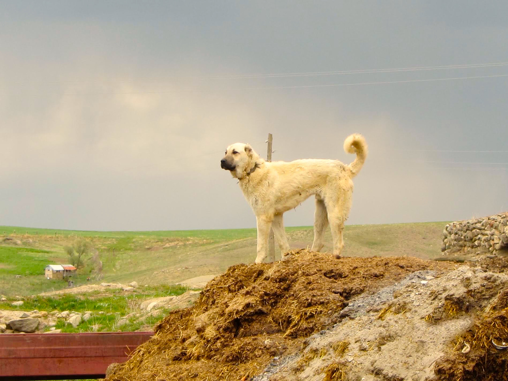 Welcome to the Kangal Dog Club of America