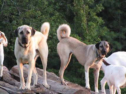 Kangal Dog For Sale In Pakistan - Madara Dogs And Puppy