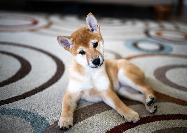 Sutterstock_7_shiba_puppy.jpg