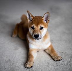 Mellott_Sutterstock_6_shiba_puppy_edited