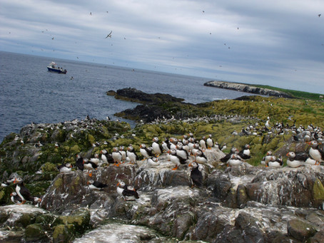 Puffins at the Farne Islands, July 2016