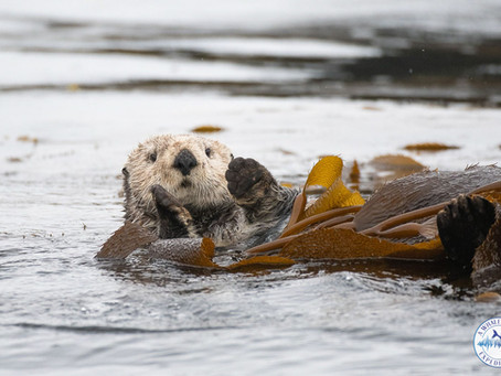 How Nuclear Bomb Testing Brought Otters To Sitka
