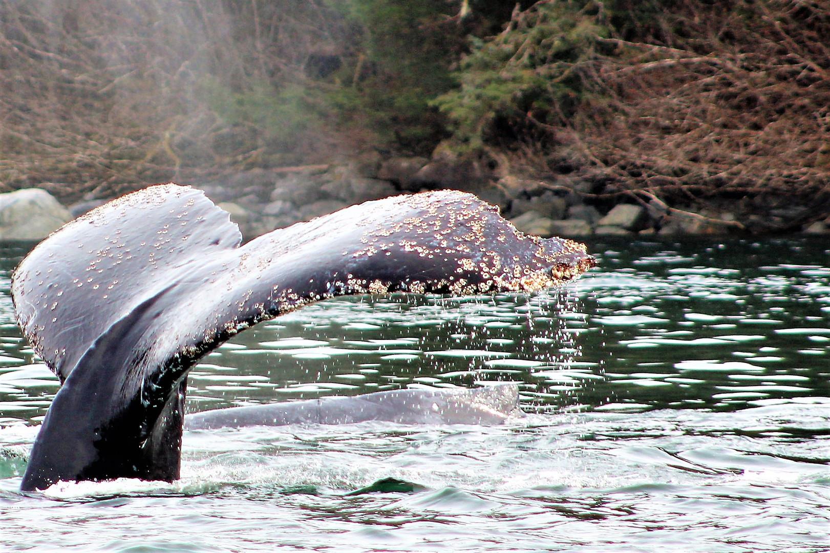 barnacle tail A (2).jpg