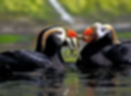 Tufted Puffin.png