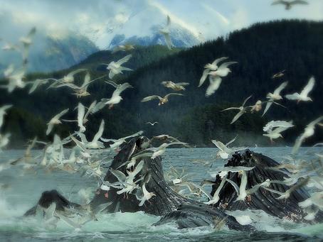 Sitka's Singing Cetaceans - The Beginning