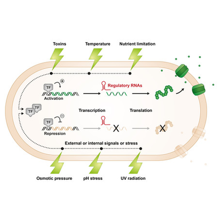 REGULATION OF BACTERIAL STRESS RESPONSES