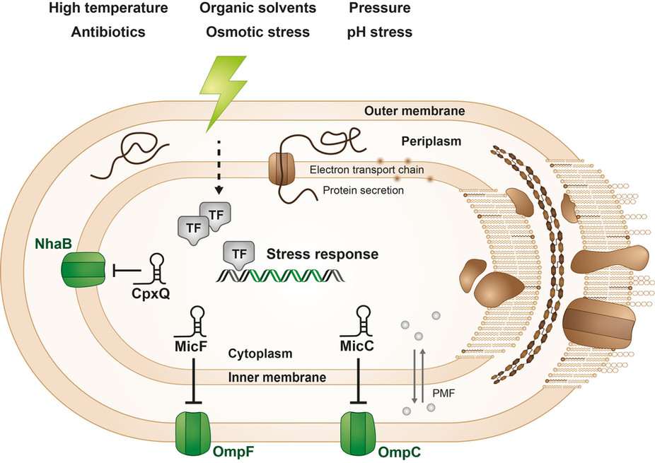 SMALL RNA-MEDIATED CONTROL OF MEMBRANE STRUCTURE AND FUNCTION