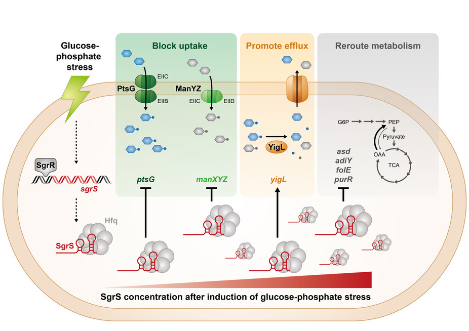 POST-TRANSCRIPTIONAL CONTROL OF CARBOHYDRATE TRANSPORT AND METABOLISM