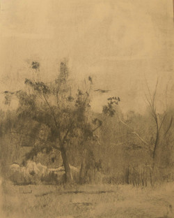 Tree in Garden / Charcoal on Paper