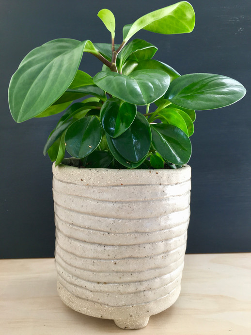 Coiled Correa Planter