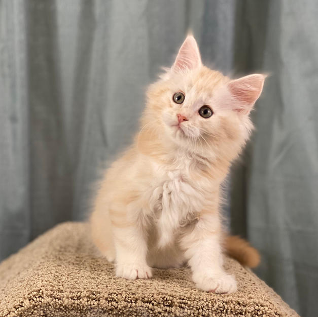 Ghost - Red tabby male