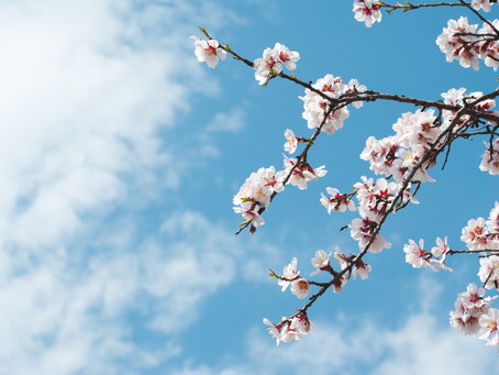Jews have always loved an early Spring-an almond tree is blooming somewhere!