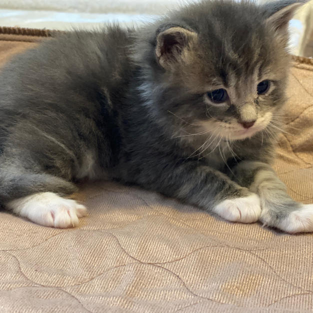 Female Blue tabby with white