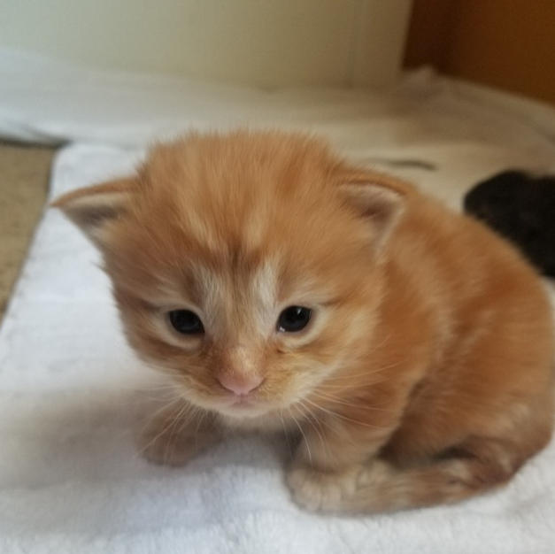 Male - Red tabby
