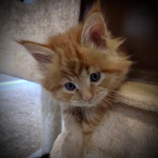 red tabby male - Bryan Guerreo