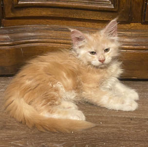 red silver tabby male