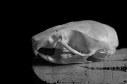 Mouse skull 1bw