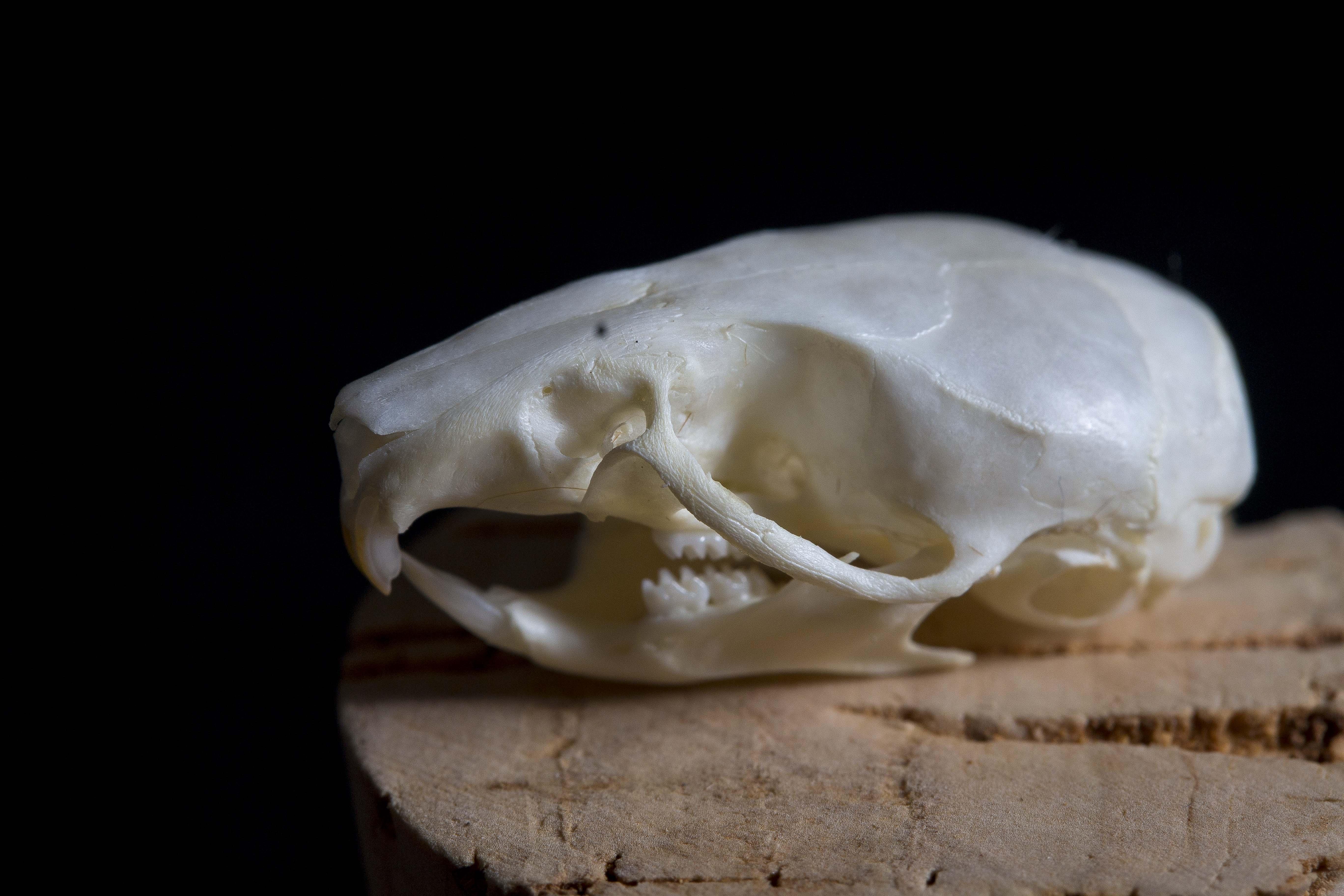 Mouse skull1