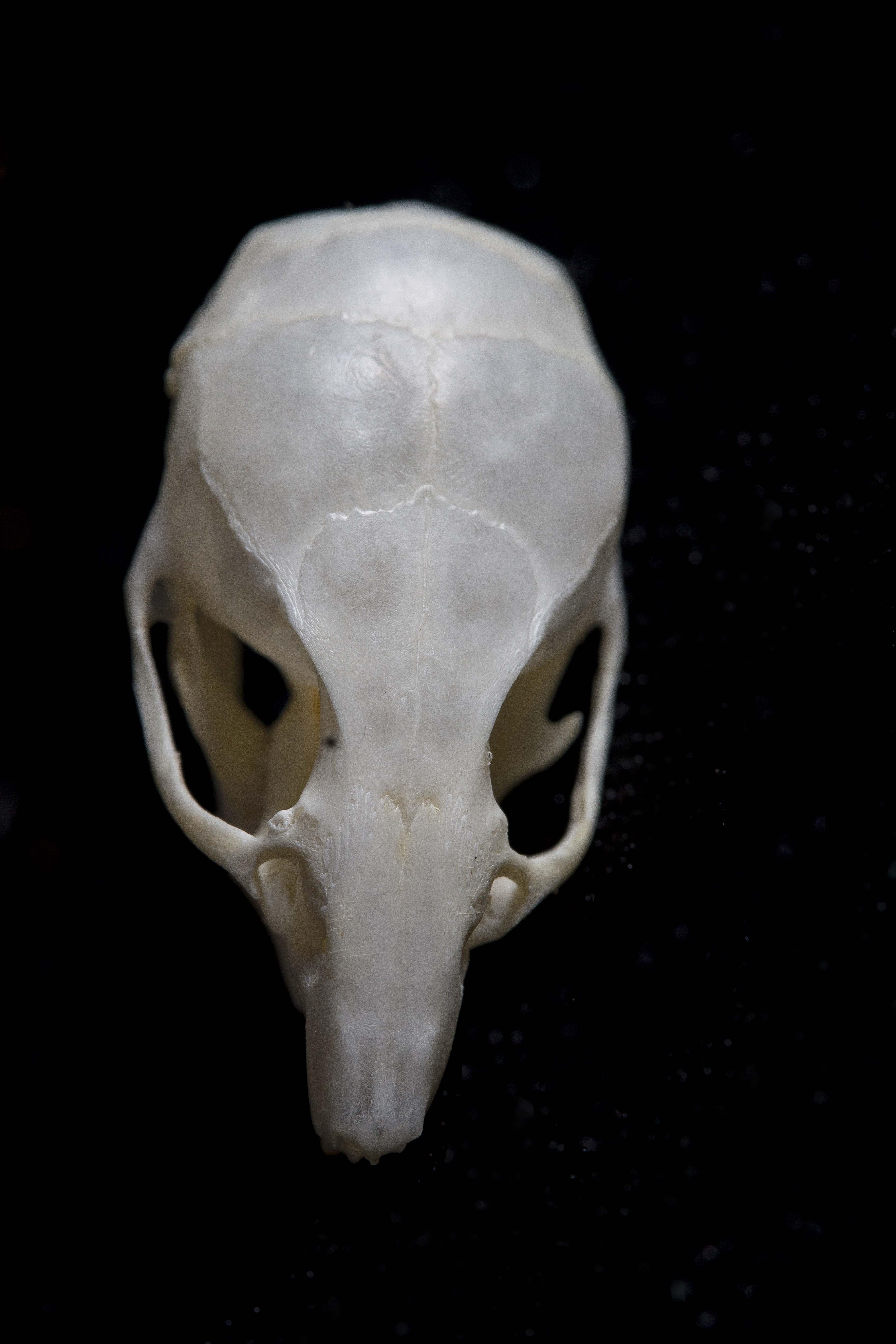 Mouse skull 4
