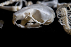 Mouse skull tail and bones 3