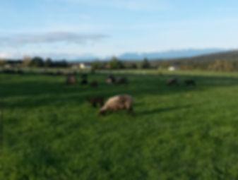Grass-fed meats in Western Washington