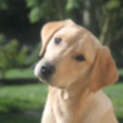 labrador mâle