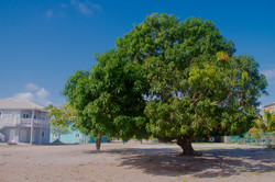 The Largest Mango Tree in Placencia