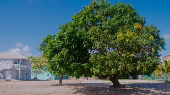 Mango tree on Lot #8- one of the oldest in the Village