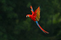Red parrot in the rain. Macaw parrot fly