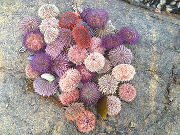 Purple sea urchins on rocks near ocean.