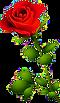 rosa 2 tr.png
