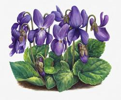 Violets+Artwork