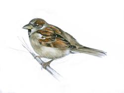 Sparrow+Artwork