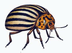 colorado+beetle.jpg