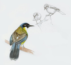 Laughing Blue Crowned Thrush