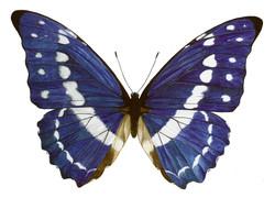 Butterfly+1