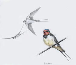 Swallow+Artwork