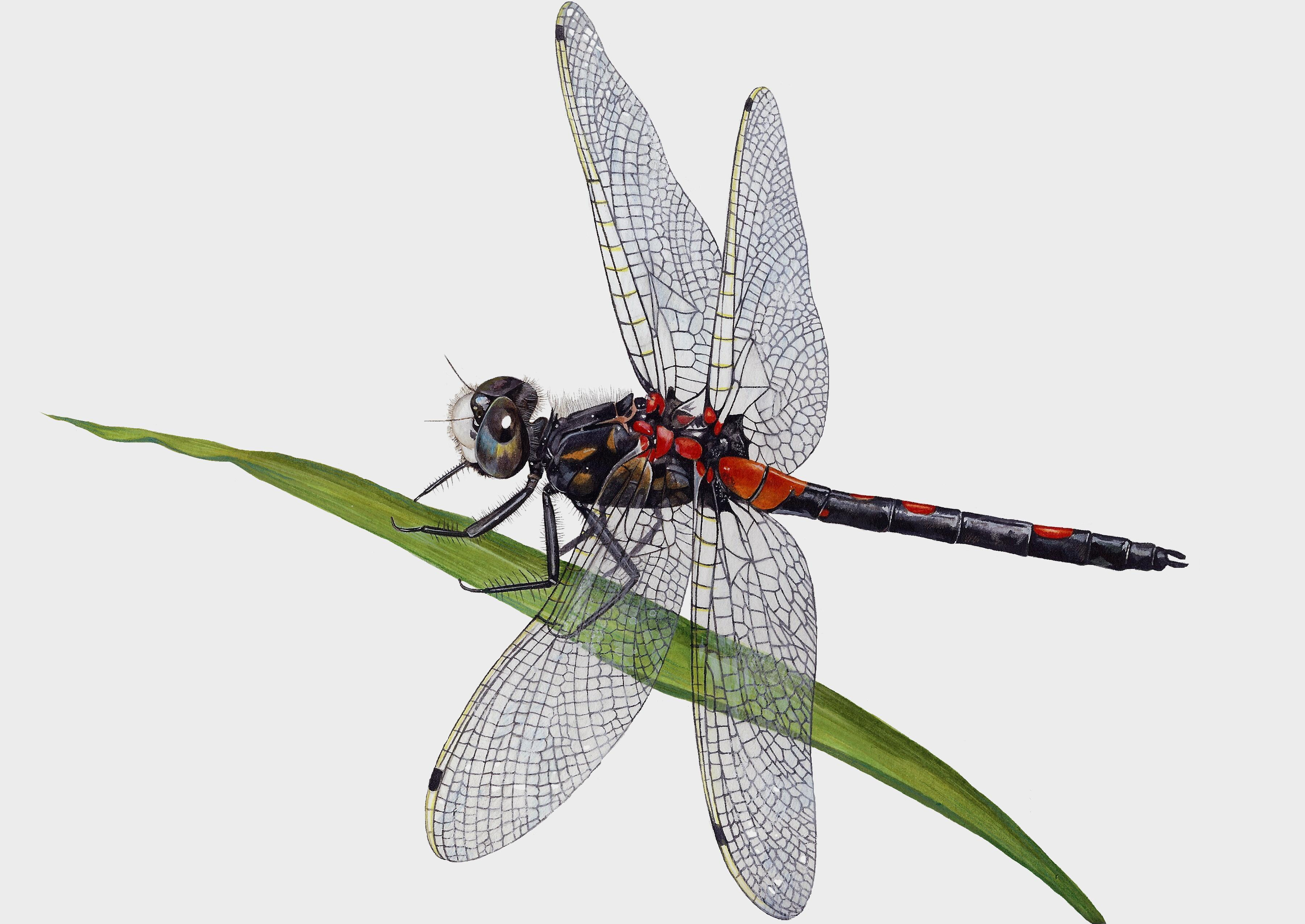 White+Faced+Darter+Dragonfly+Artwork