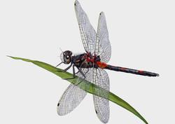White+Faced+Darter+Dragonfly+Artwork