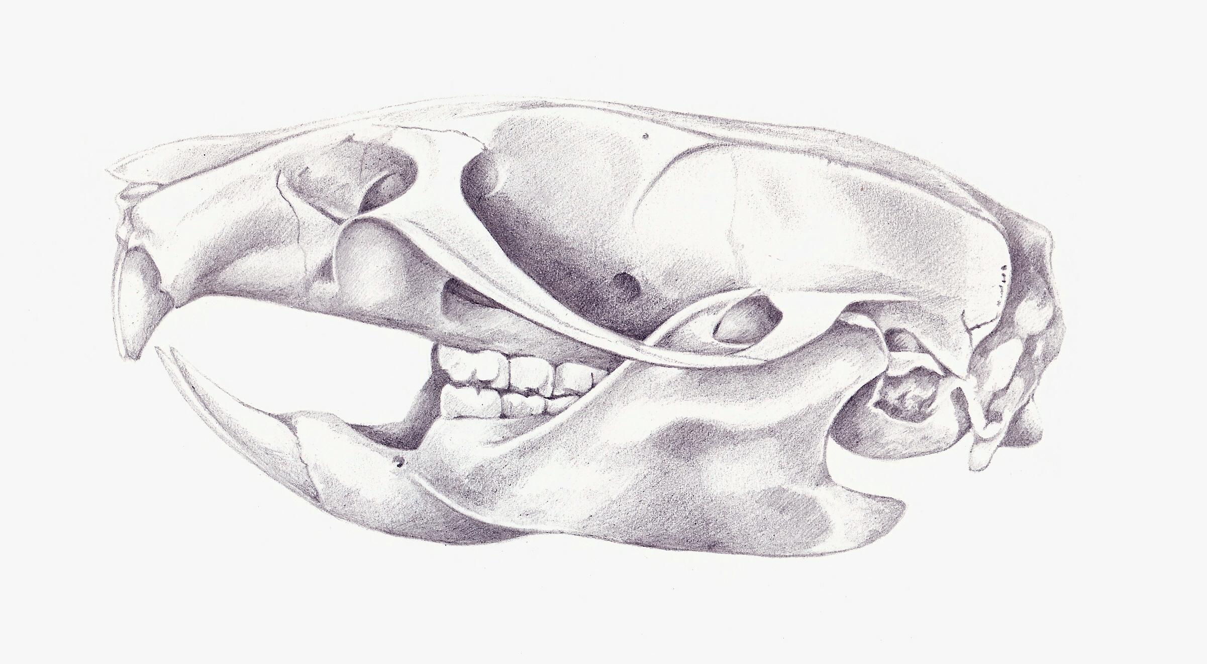Rat+Skull