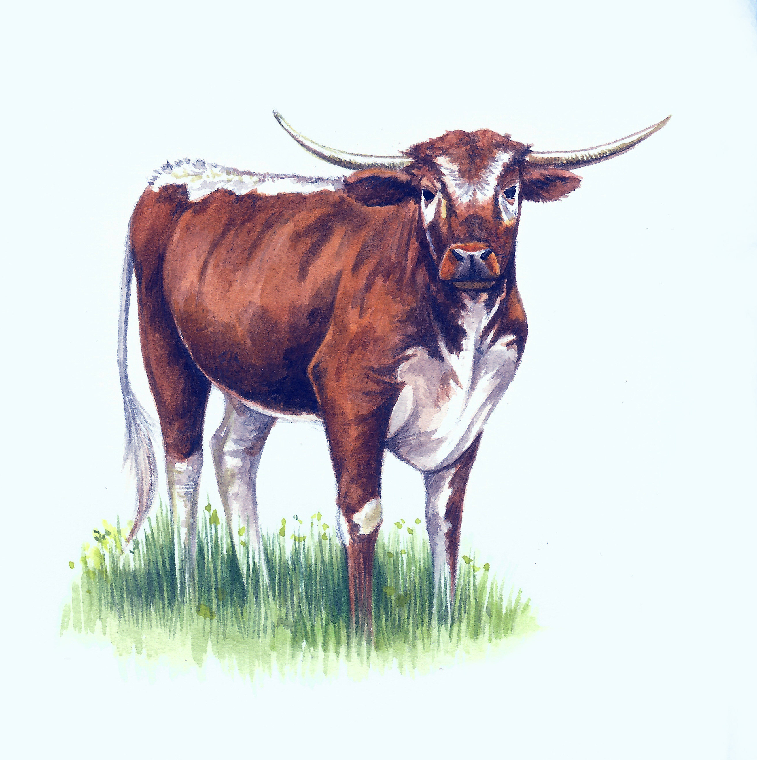 Longhorn+Cattle+Artwork