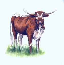 Longhorn+Cattle+Artwork