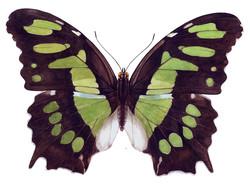 Butterfly+2